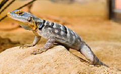 reptiles Lizard,%20Blue%20Rock