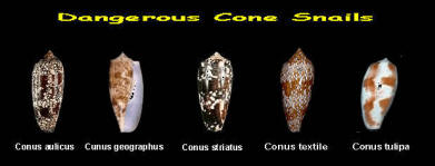 rattle snake bite info and black widow and other spiders 2015-1-23%20Cone%20Shells